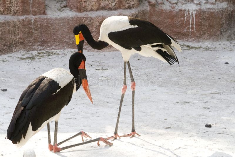 Colorful Birds - Storks. Colorful birds with very long legs and a very peculiar sitting down position... Giza Zoo, Egypt stock image