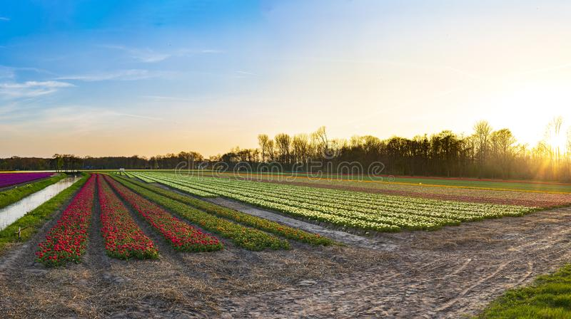 Colorful blooming flower field with hyacinths during sunset, Holland stock images