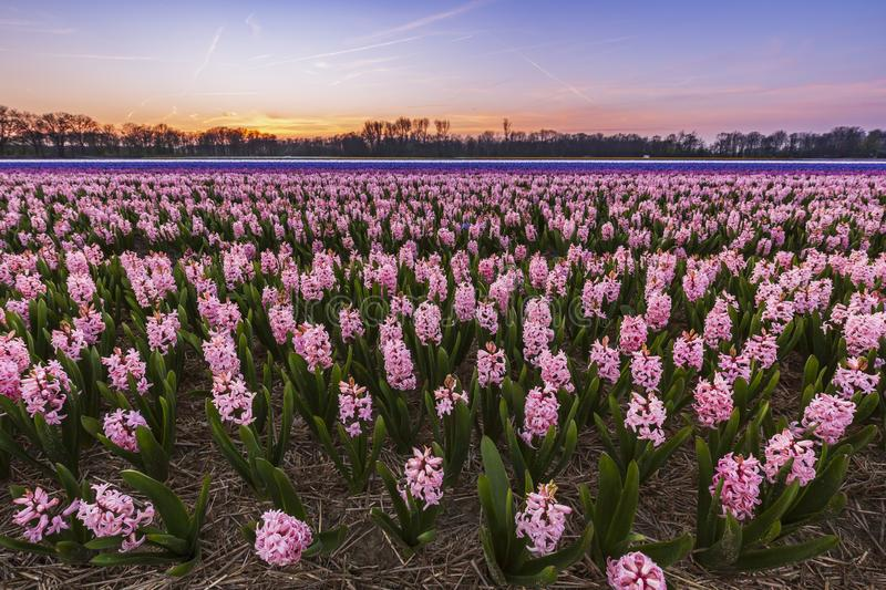 Colorful blooming flower field with pink and blue hyacinths during sunset royalty free stock images