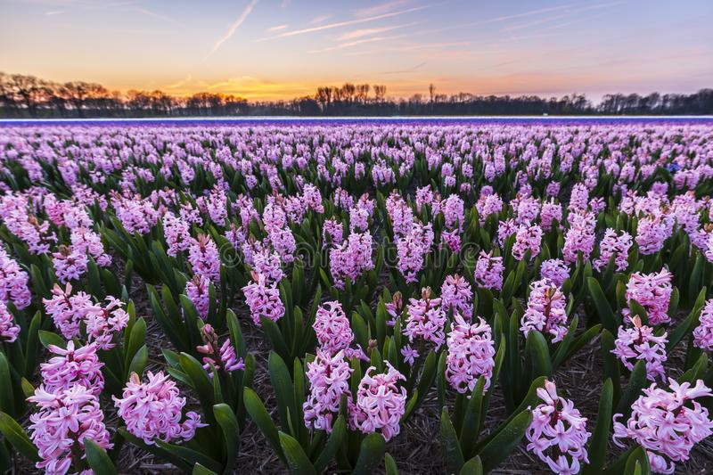 Colorful blooming flower field with pink and blue hyacinths during sunset stock photo