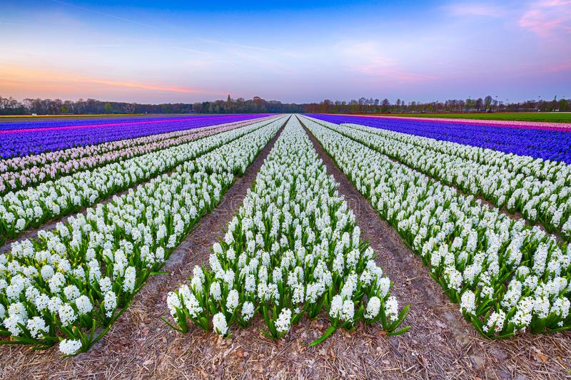 Colorful blooming flower field with white and blue hyacinths during sunset. royalty free stock image