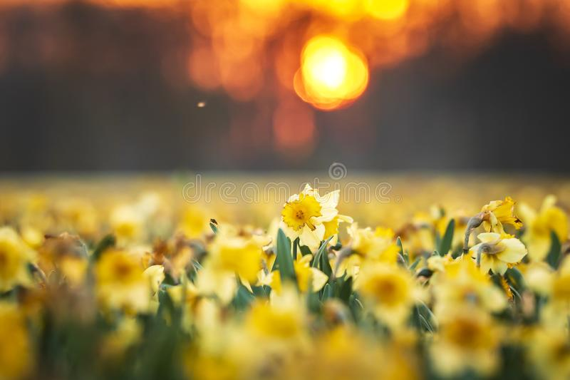 Colorful blooming flower field with yellow Narcissus or daffodil closeup during sunset royalty free stock photo