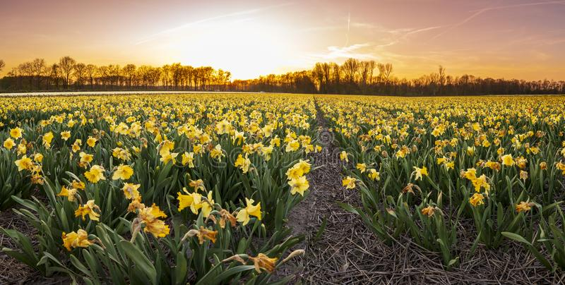 Colorful blooming flower field with yellow Narcissus or daffodil during sunset stock photography