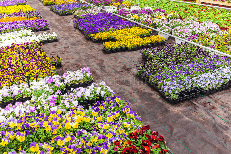 Colorful blooming violas in a greenhouse. Colorful blooming violas in a Dutch greenhouse stock image