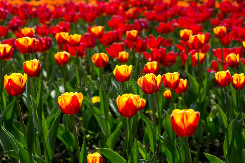 Colorful blossing tulips in public park stock image