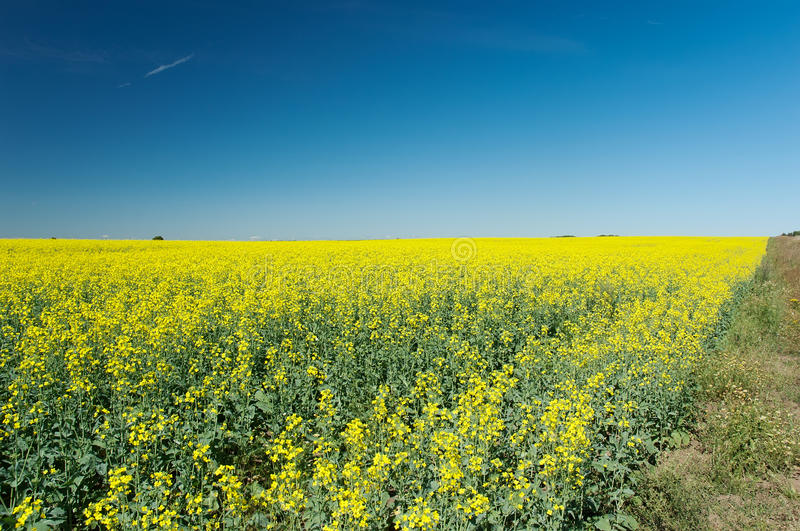 Download Field of colza stock image. Image of background, ecology - 30153681