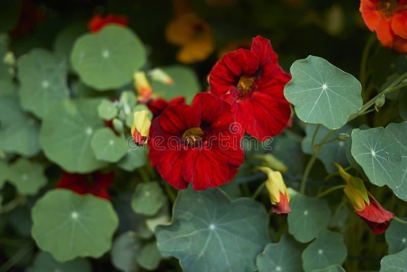Tropaeolum majus blossom royalty free stock photos