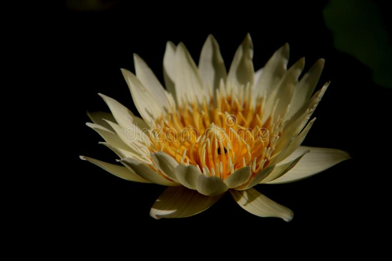 One Blossom Lotus stock images