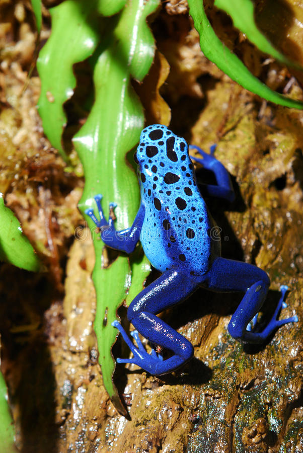Colorful blue frog. Sitting in terrarium royalty free stock images