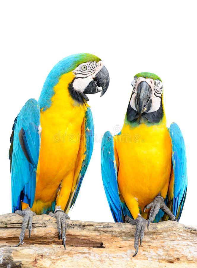Colorful blue parrot macaw isolated stock photos