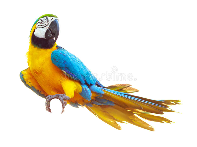 Colorful blue parrot macaw isolated on white royalty free stock image