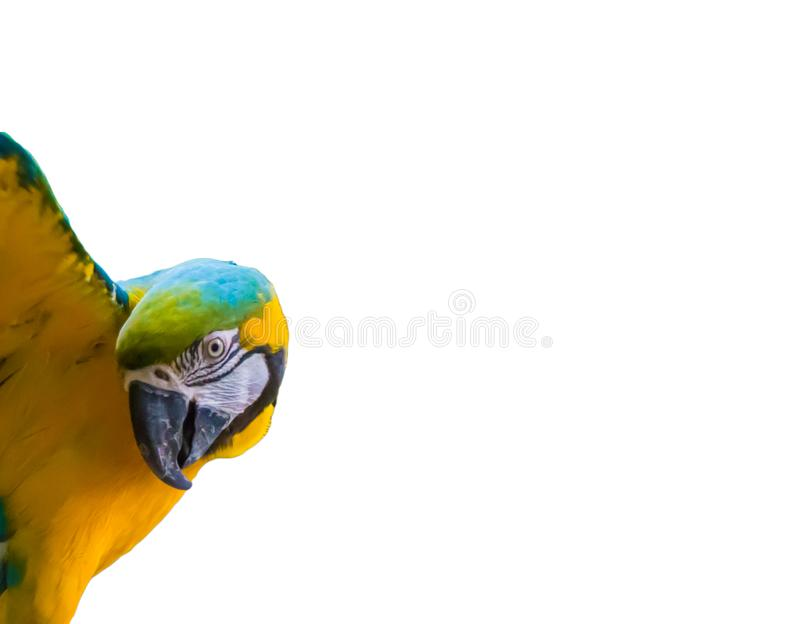 Colorful blue and yellow macaw parrot with open wings isolated on a white background stock photo