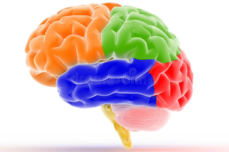 Colorful Brain. 3D braing showing the different parts stock illustration