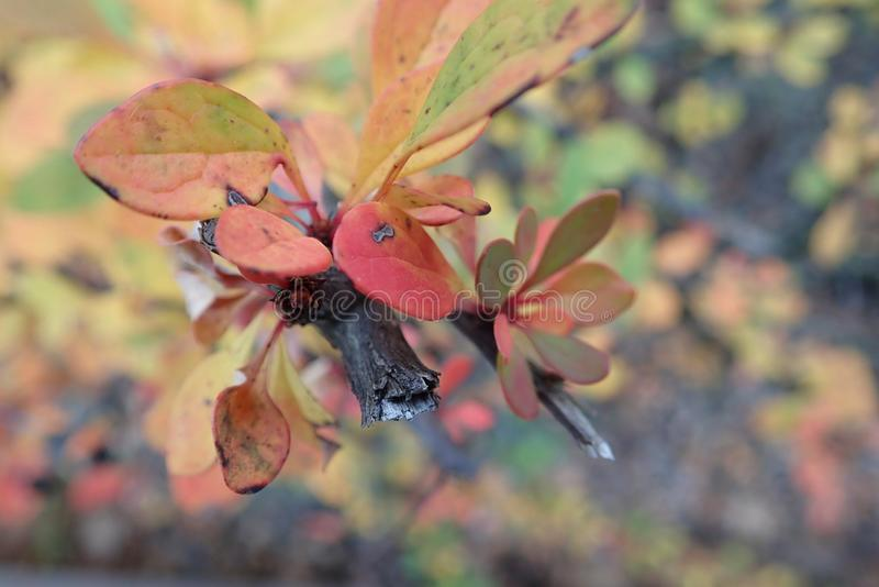 Colorful branch of a bush with small leavesin the autumn stock photography