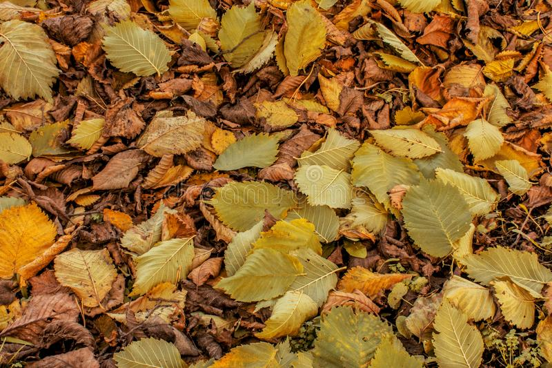 Colorful and bright background made of fallen autumn leaves stock image