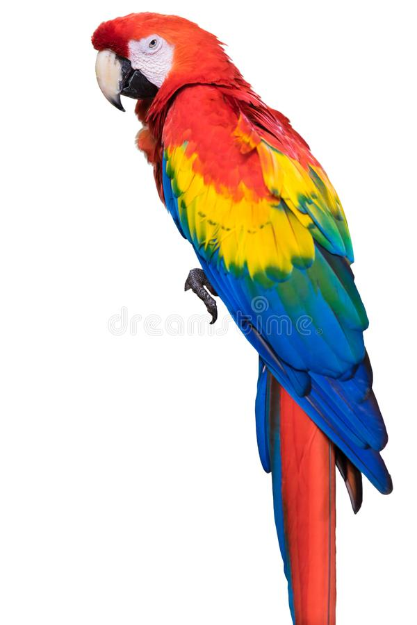 Colorful bright exotic wild animal bird of parrot with red yellow blue feathers isolated on white stock photo