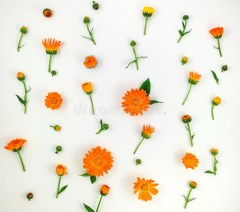 Colorful bright pattern of orange calendula flowers on white background. Flat lay. Top view, natural background stock photography