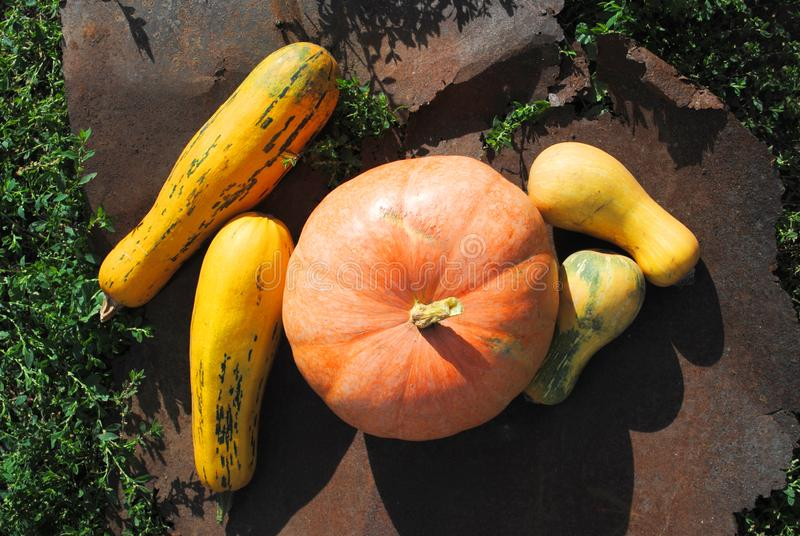 Colorful bright pumpkins on a background of rusty metal and grass, autumn harvest stock photo