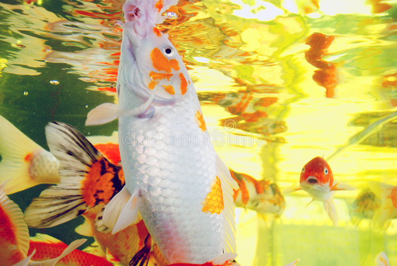 Colorful brocaded carps. Swim leisurly in the aquarium stock photos
