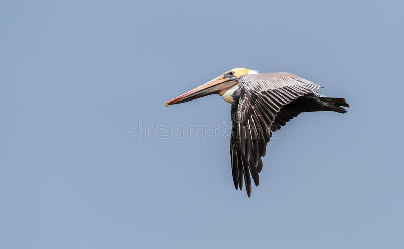 Colorful Brown Pelican Flying in a blue sky Wings Down stock images