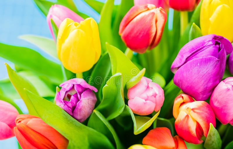 Multicolored bunch of tulips, beautiful spring flowers, closeup royalty free stock image