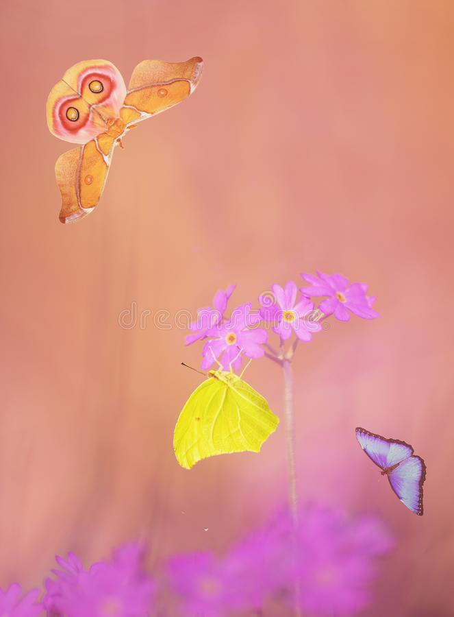 Colorful butterflies are flying and sitting on flowers. Yellow, orange and blue butterflies and moths are flying and sitting on purple flowers of the bird`s-eye stock photo