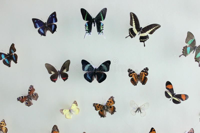 The colorful butterflies specimen with different Species royalty free stock photo