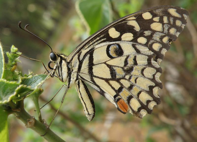 Colorful butterfly. Side view of colorful butterfly with cream and black markings on plant royalty free stock photography