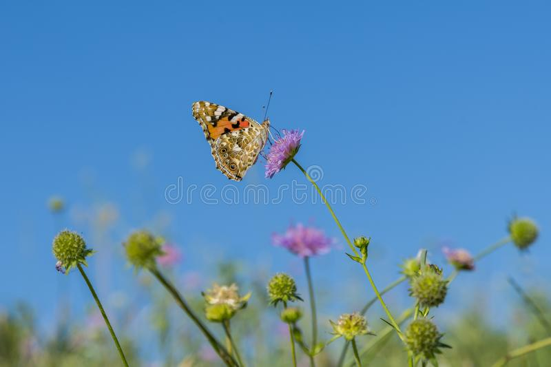 Colorful butterfly feeding on a bright pink flower. Macro of a Painted Lady butterfly against blue sky. Butterfly on a spring stock image
