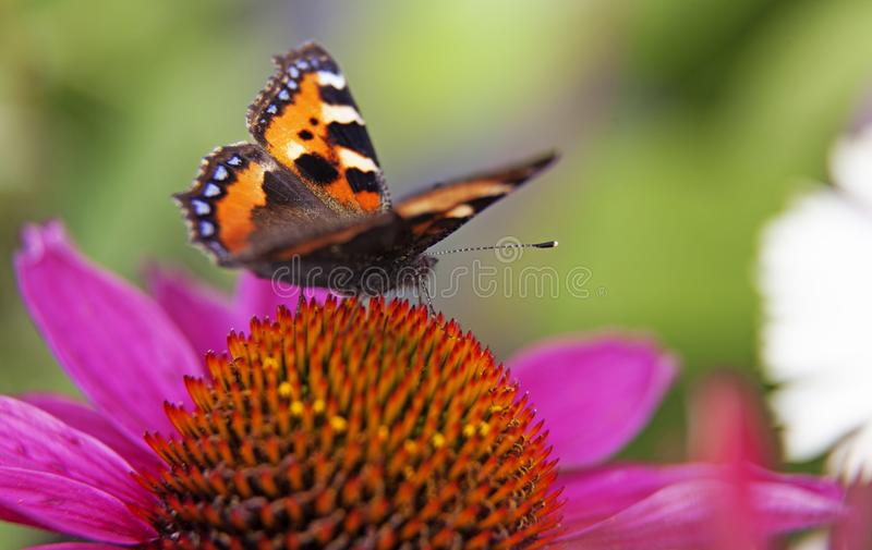 Colorful butterfly landing on pink flower in macro stock images