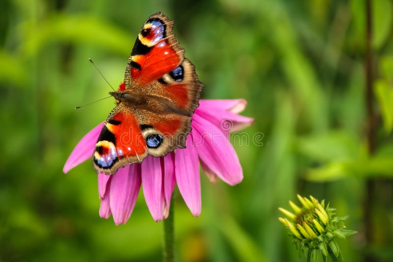Colorful butterfly on pink blossoming Echinacea flower royalty free stock photography