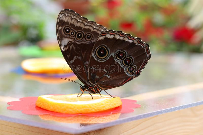 Butterfly sucks nectar from orange. Colorful butterfly sucks nectar from orange stock image