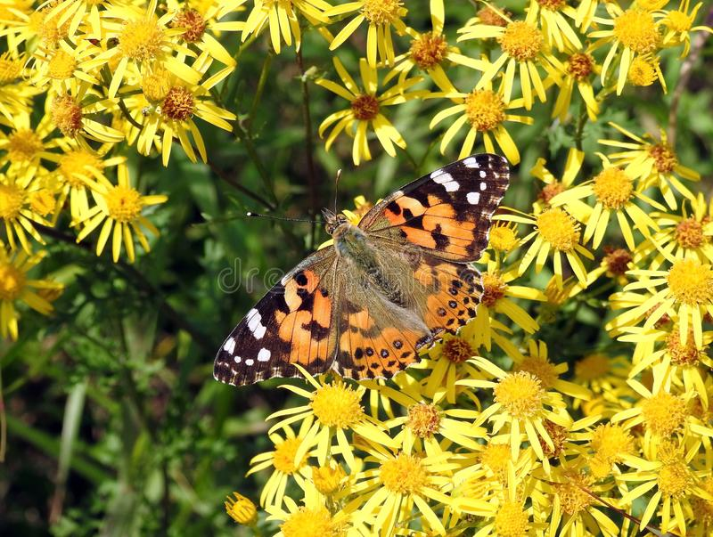 Colorful butterfly on yellow flowers, Lithuania royalty free stock photos
