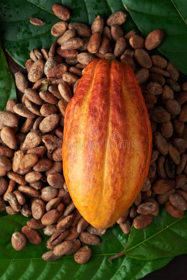 Colorful cacao plant theme stock image