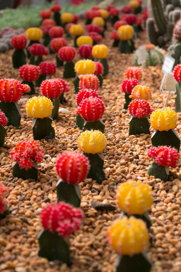 Colorful cactus. A close up image of rows of cute colorful miniature cactus stock photos