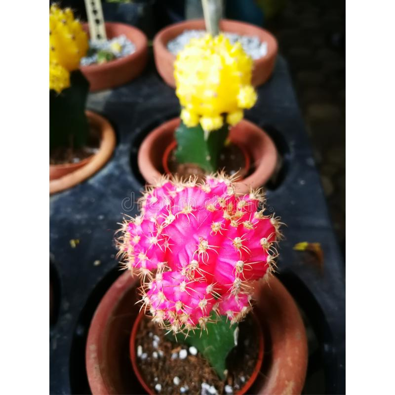 Colorful cactus royalty free stock photo