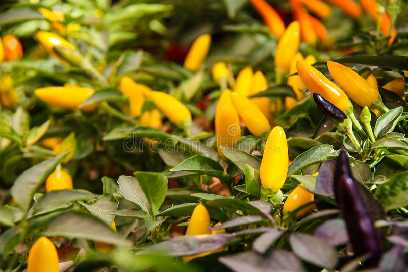 Colorful Capsicum annuum, species of the plant genus Capsicum peppers from North America and northern South America.Ornamental pep. Per, Front view stock photos