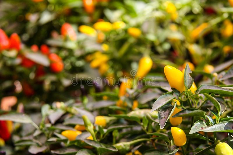Colorful Capsicum annuum, species of the plant genus Capsicum peppers from North America and northern South America.Ornamental pep. Per, Front view stock images