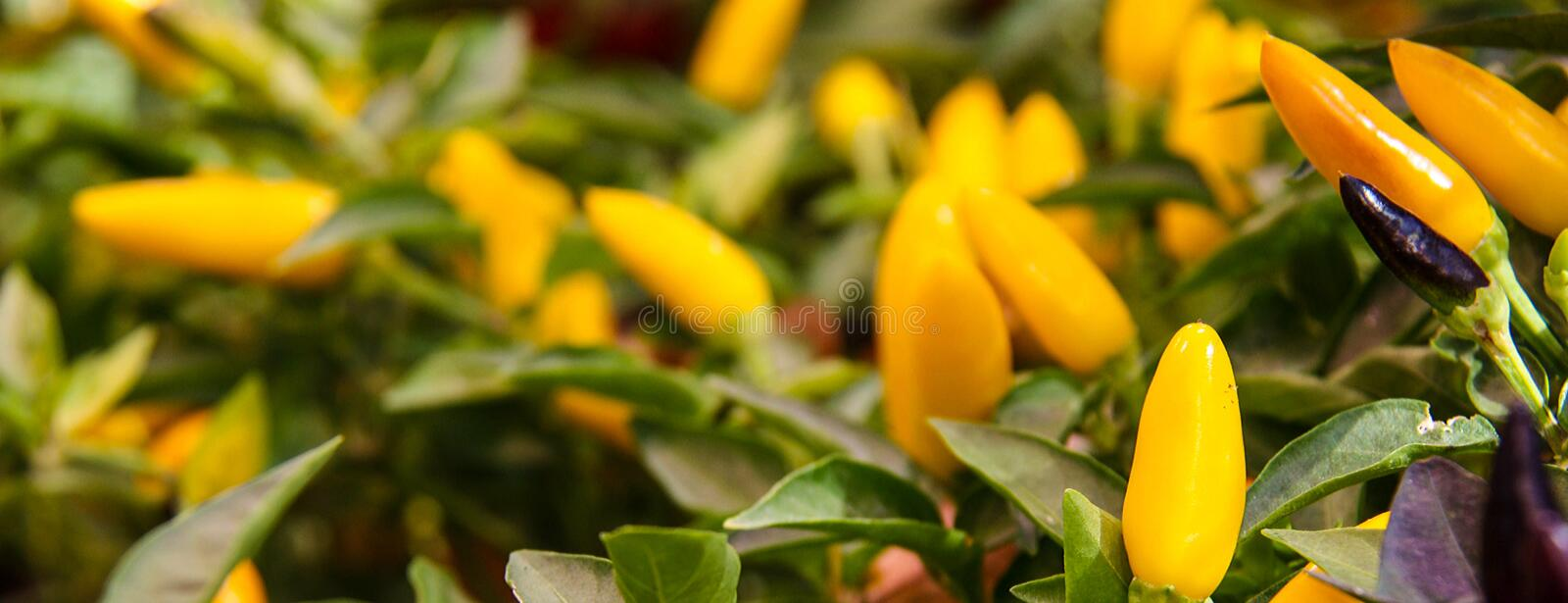 Colorful Capsicum annuum, species of the plant genus Capsicum peppers from North America and northern South America.Ornamental pep. Per, Front view royalty free stock image