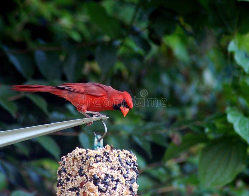 Colorful cardinal at the bird feeder closeup royalty free stock image