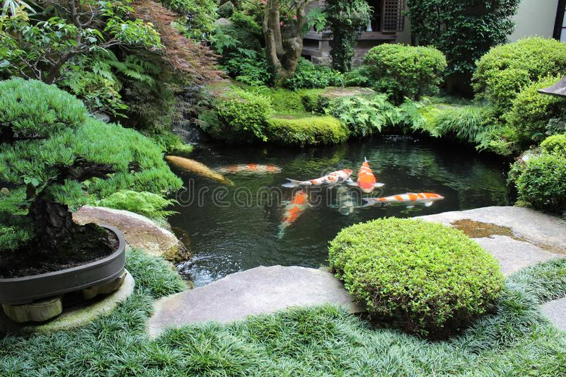 Colorful carps in a japanese garden house. Japanese garden build with lake, carps, trees and bonsai, June 2018 in Kyoto - Japan royalty free stock photography