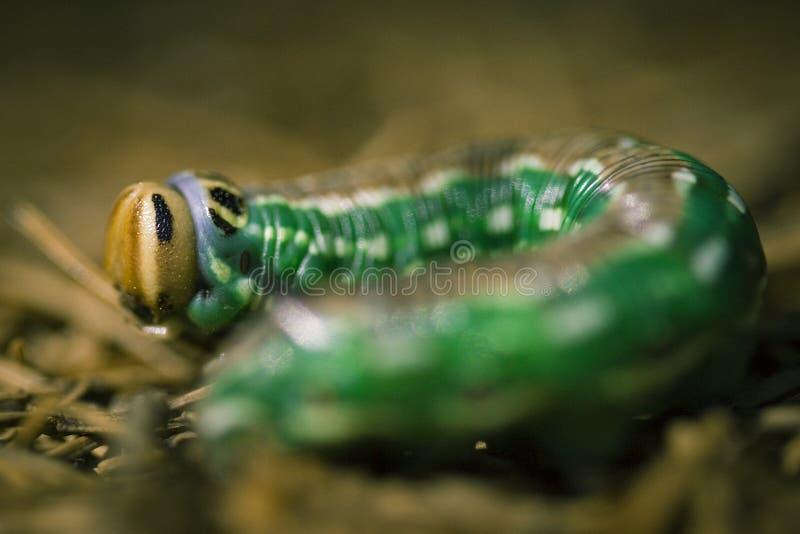 Colorful caterpillar royalty free stock photos