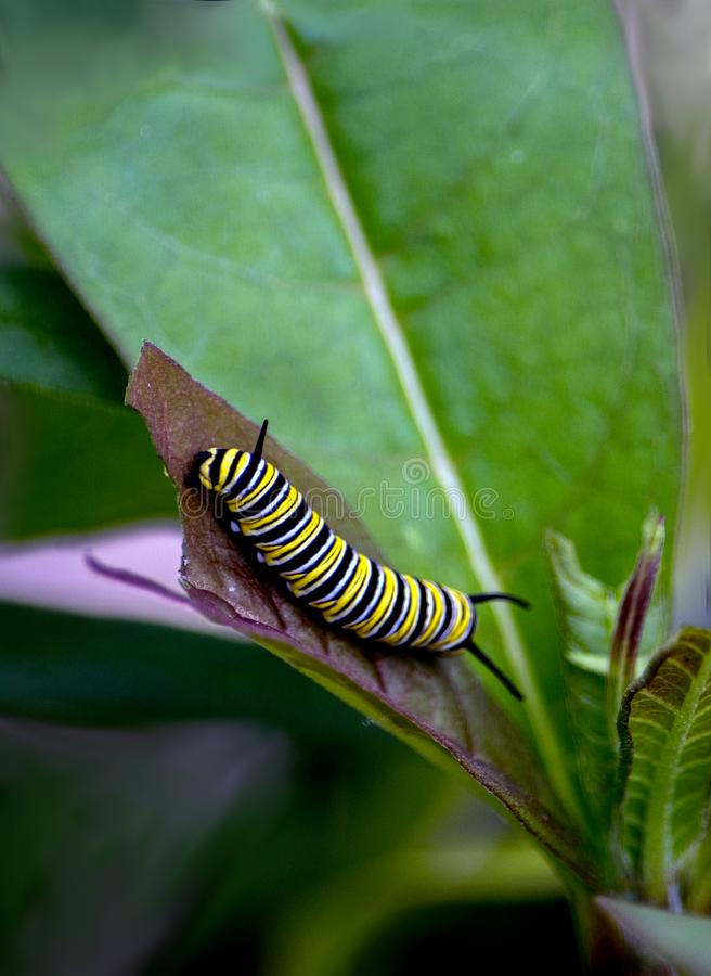 Hungry hungry caterpillar on a leaf. Colorful caterpillar eating a leaf, ready to build a cocoon and become a monarch butterfly stock photos