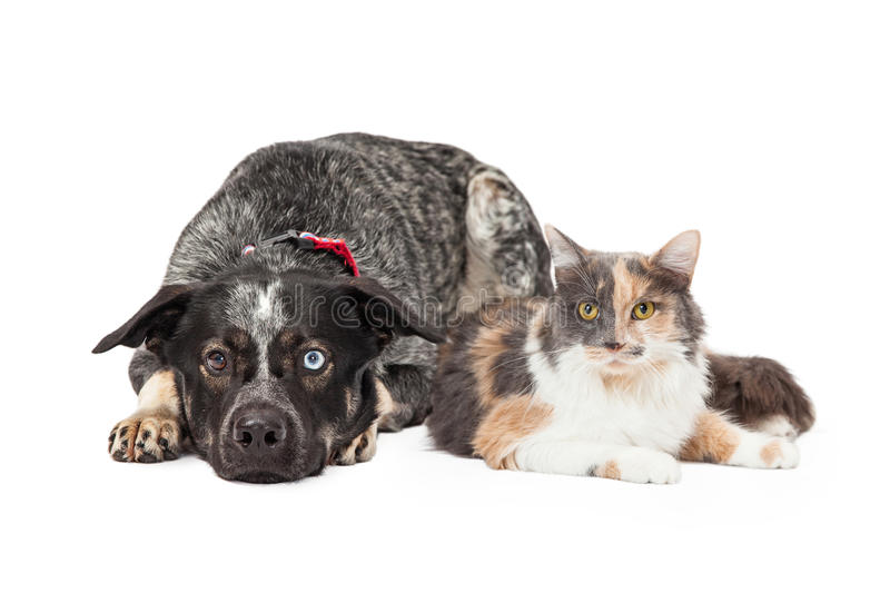 Colorful Cattle Dog and Calico Cat. Beautiful Australian Shepherd mixed breed dog laying down next to a pretty calico cat royalty free stock photos