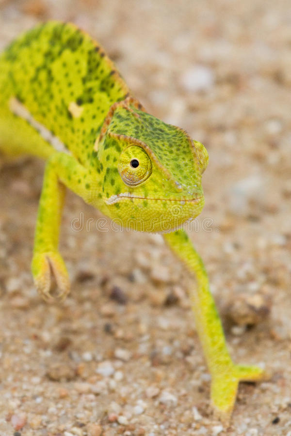 Colorful chameleon. A bright green and yellow flap-necked chameleon close up stock image