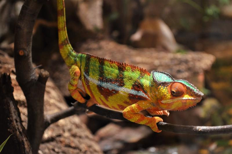 Colorful chameleon on a branch stock photos