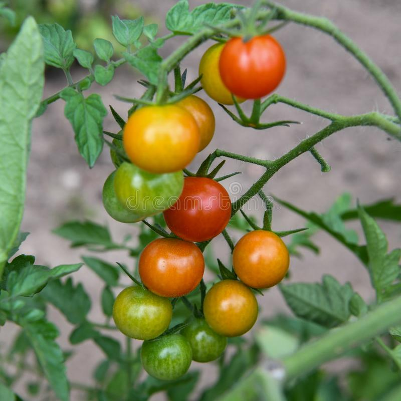 Colorful Cherry tomatoes ripening on the vine stock photos