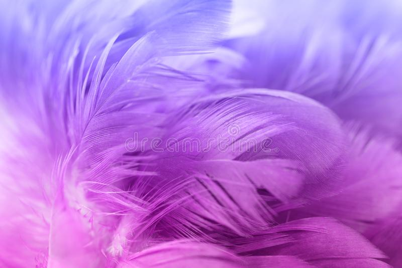 Chicken feathers in soft and blur style for the background. Colorful chicken feathers in soft and blur style for the background royalty free stock images