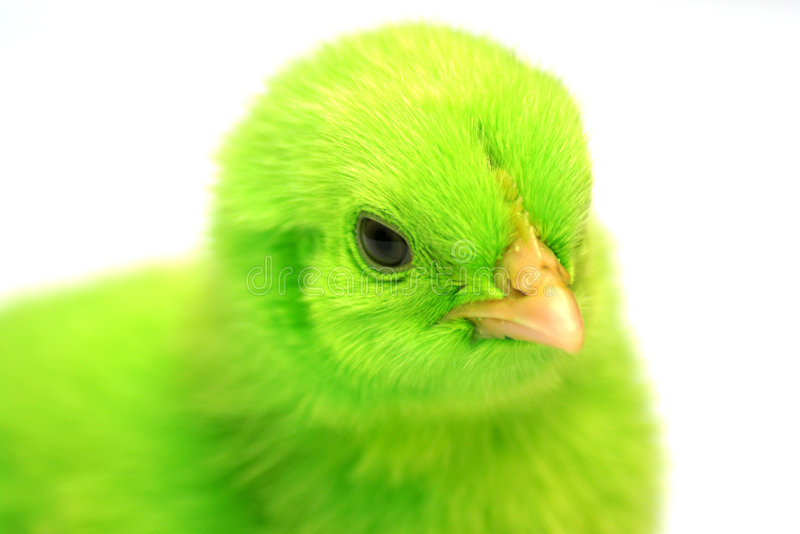 Colorful Chickens stock photo
