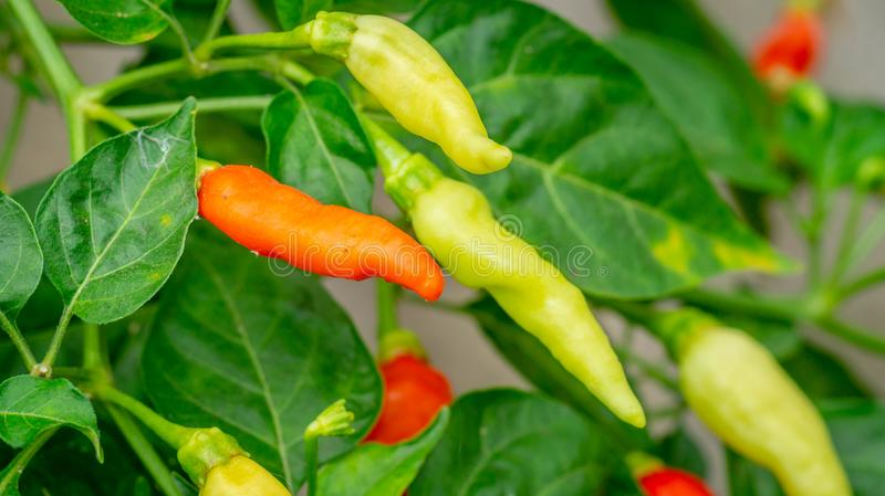 Colorful chili fruits ready to harvest royalty free stock image